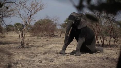GPS au secours de l'éléphant