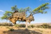 Un nid géant fait ployer l'arbre qui le porte