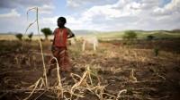 Mieux que les maïs OGM: la sélection à l'ancienne