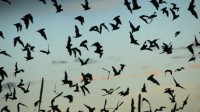 Les chauves-souris décimées par les éoliennes