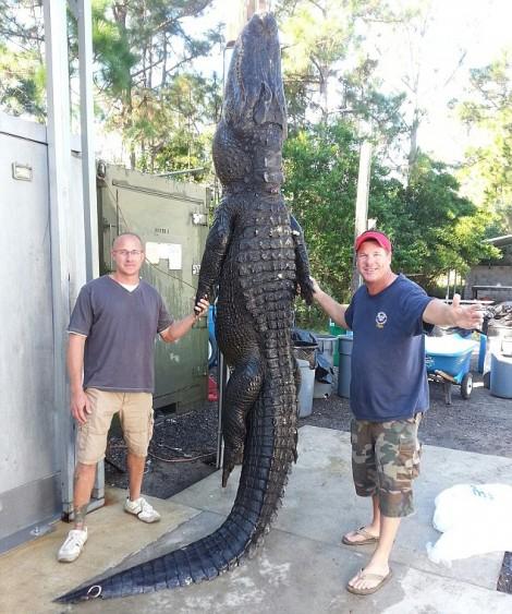 enorme alligator Floride