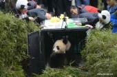 La photo : un panda géant relâché dans la nature