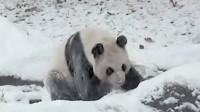 Un panda joue dans la neige, dans un zoo de Toronto Vidéo