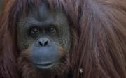 Argentine: un orang-outan reconnu «personne non humaine» par un tribunal
