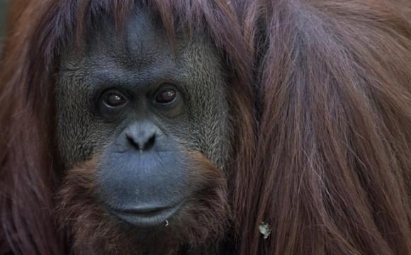 orang-outan personne non humaine