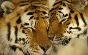 Inde: 30% de tigres en plus depuis 2010