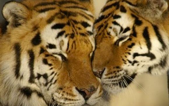 Inde-tigres-en-plus-2010