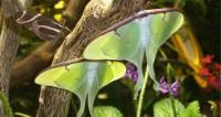 Certains papillons utilisent leur queue pour brouiller l'écholocation des chauves-souris