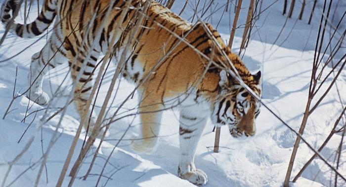 retour tigre Siberie