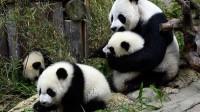 La photo: triplés pandas en Chine