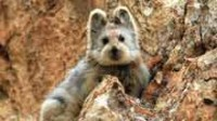 Un adorable petit animal de Chine en voie d'extinction…