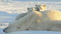 La photo: Les ours polaires ne sont plus en voie de disparition