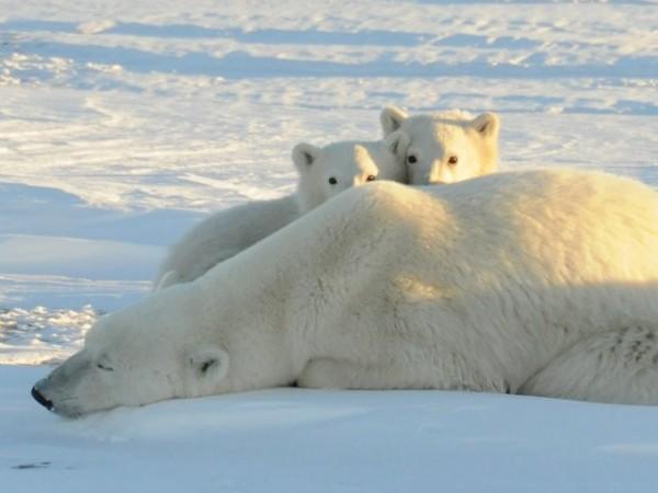 ours polaires voie de disparition