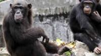 New York: deux chimpanzés se sont vu reconnaître les mêmes droits que des hommes pour détention abusive par la Stony Brook University