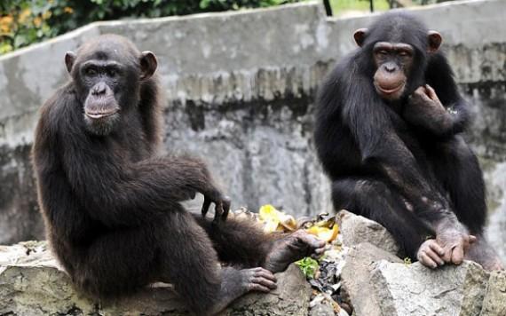 chimpanzés détention abusive Stony Brook University droits hommes New York