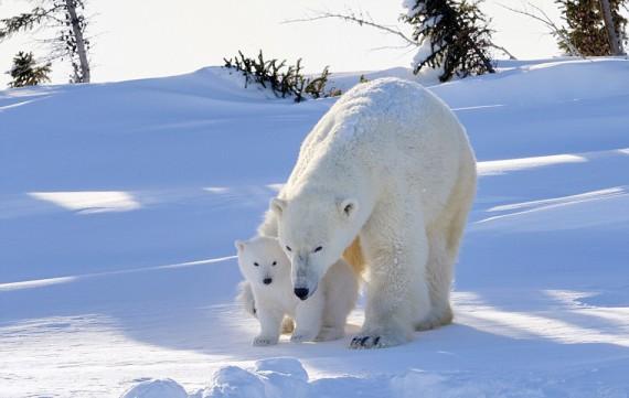 Un petit ours blanc s'aventure dehors pour la première fois