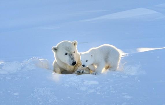 petit ours blanc s'aventure dehors pour toute première fois