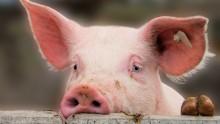 Human Rights Watch agresse un député hongrois à propos d'une tête de cochon