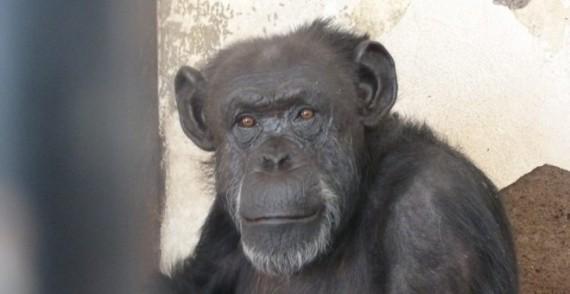 chimpanzé sujet droit non humain sortie zoo tribunal Mendoza Argentine