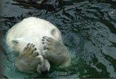 Un autre mensonge du réchauffismequi annonçait la disparition de l'ours polaire… il se multiplie!