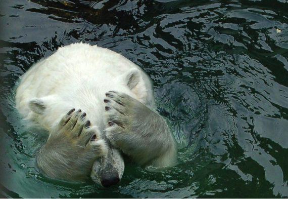 mensonge réchauffisme disparition ours polaire multiplie