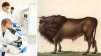 Faire revivre l'auroch:le rêve fou de l'Opération Tauros