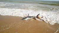 (Requin échoué sur la plage de La Baule en 2013)