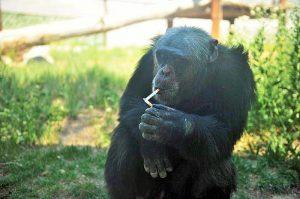 chimpanzés droits humains cour appel New York