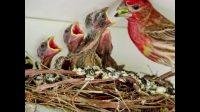 Les oiseaux utilisent des mégots de cigarettes pour lutter contre les tiques