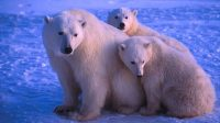 La photo:Les ours polaires sont trop prospères!