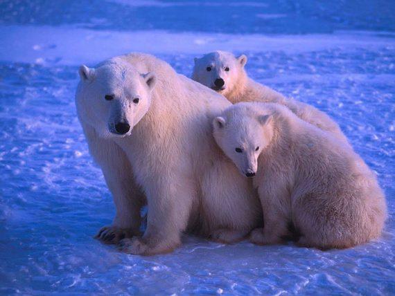 ours polaires trop prospères