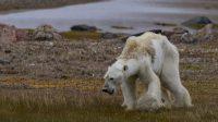 Des images «déchirantes» d'un ours polaire affamé font le tour du monde: fake ou hoax, au choix!