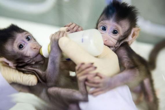 clonage singes macaques êtres humains Chine Première mondiale