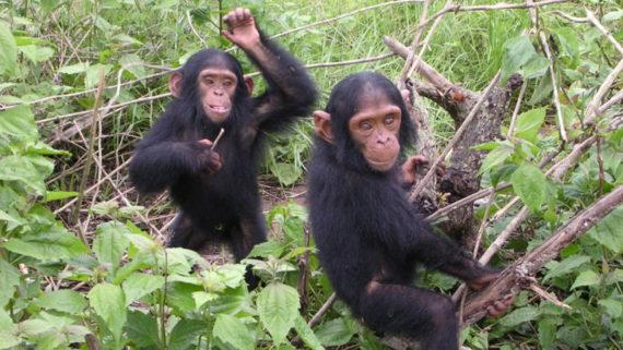 petits chimpanzés femelles préfèrent jouer poupée