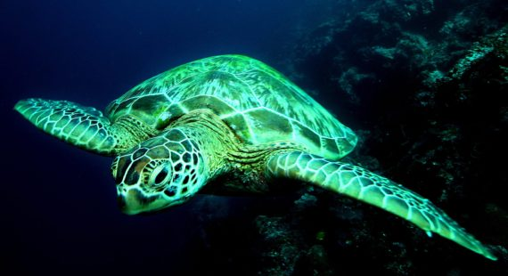 tortues vertes femelles réchauffement climatique WWF étude
