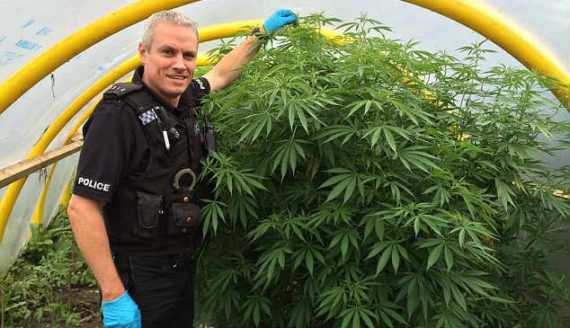 skunk cannabis drogue douce saisies Royaume Uni