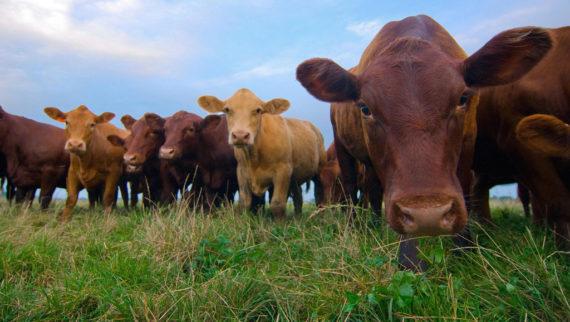 Manger moins bœuf planète socialisme mondial