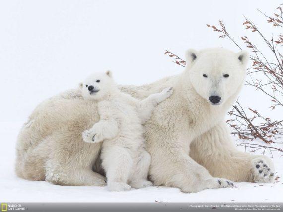 ours polaires augmenté