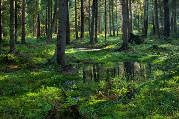 Cour Justice UE foret Białowieża Pologne écologistes Commission européenne