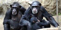 L'« intelligence » des chimpanzés ne progresse pas lorsqu'ils sont élevés par un être humain