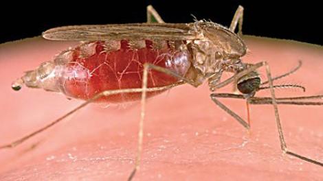 Un espoir contre la malaria