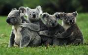 Des koalas prêts à accueillir les dirigeants du prochain G20 en Australie