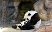 Vidéo: Des triplés pandas retrouvent leur mère