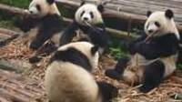 Chine: les pandas plus sociables que ne l'imaginaient les chercheurs