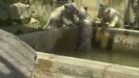 La video: un bébé tigre blanc aidé par ses trois frères
