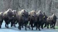 La vidéo: des bisons tués à proximité d'une autoroute de New York