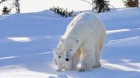 La photo: un petit ours blanc s'aventure dehors pour la toute première fois