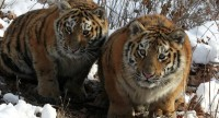 La vidéo: La population des tigres de Sibérie augmente en Russie