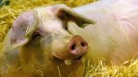 Le porc breton dans la tourmente des prix