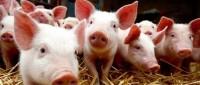 Le porc dans les écoles allemandes